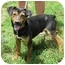 Photo 2 - Manchester Terrier/Feist Mix Dog for adoption in Fairmount, Georgia - Scrappy
