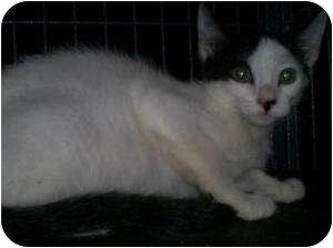Siamese Cat for adoption in Breinigsville, Pennsylvania - Jonny