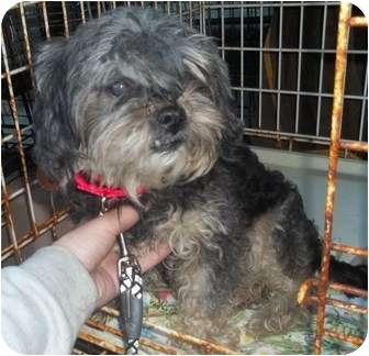 Shih Tzu/Yorkie, Yorkshire Terrier Mix Dog for adoption in Oak Ridge, New Jersey - Rita-UPDATE!