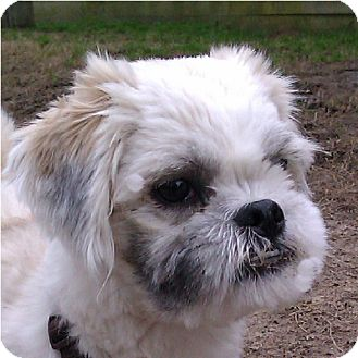 Lhasa Apso Dog for adoption in Mays Landing, New Jersey - Roko-VA