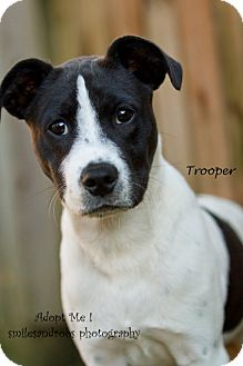 Labrador Retriever/Hound (Unknown Type) Mix Puppy for adoption in Groton, Massachusetts - Trooper