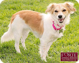 Cavalier King Charles Spaniel/Papillon Mix Dog for adoption in Marina del Rey, California - Jackie