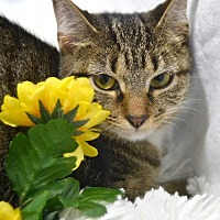 Domestic Mediumhair Cat for adoption in St. Cloud, Florida - Bubbles