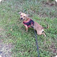 Adopt A Pet :: Brody - Seneca, SC