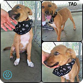 Shepherd (Unknown Type) Mix Puppy for adoption in Kimberton, Pennsylvania - Tad