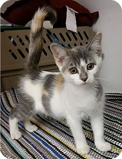Domestic Shorthair Kitten for adoption in Albion, New York - Tizzy
