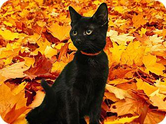 Domestic Shorthair Kitten for adoption in New Castle, Pennsylvania - Apple