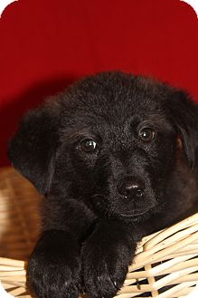Retriever (Unknown Type) Mix Puppy for adoption in Waldorf, Maryland - Micky