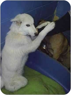 Husky Mix Puppy for adoption in Various Locations, Indiana - Bear