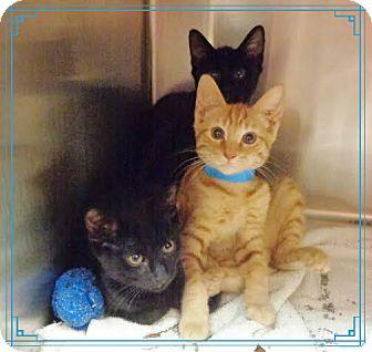 Domestic Shorthair Kitten for adoption in Marietta, Georgia - Benjamin