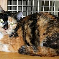 Calico Cat for adoption in Ft. Lauderdale, Florida - Panache