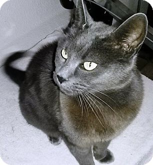 Russian Blue Cat for adoption in Castro Valley, California - Missy