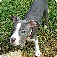 Adopt A Pet :: Izzy - Reisterstown, MD