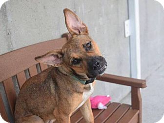 Pit Bull Terrier Mix Dog for adoption in New York, New York - Lily