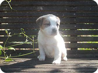 St. Bernard/St. Bernard Mix Puppy for adoption in Rocky Mount, North Carolina - Taren
