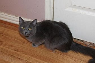 Russian Blue Cat for adoption in Cypress, Texas - BONNIE