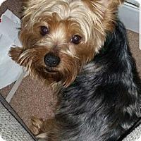 Adopt A Pet :: Bella (Yorkie) - Courtesy Post - Council Bluffs, IA
