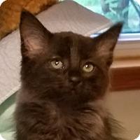 Adopt A Pet :: Darth Vader and Mouse - Fairfax, VA