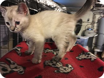 Siamese Kitten for adoption in Tracy, California - Hermione-ADOPTED!