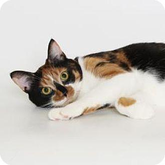 Domestic Shorthair Cat for adoption in Richmond, Virginia - Henrietta