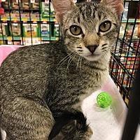 Domestic Shorthair Kitten for adoption in Smithtown, New York - Tessa