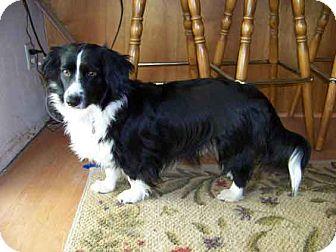 Border Collie/Corgi Mix Dog for adoption in Gustine, California - BLACKIE