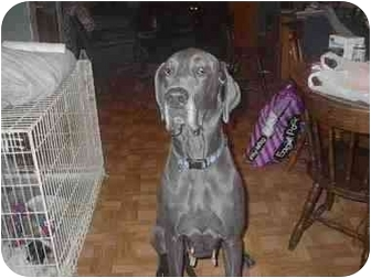 Great Dane Dog for adoption in Ortonville, Michigan - Skye