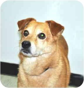 Shiba Inu Mix Dog for adoption in Port Washington, New York - Roxanne