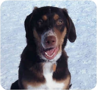 Labrador Retriever/Australian Shepherd Mix Puppy for adoption in Owatonna, Minnesota - Cooter