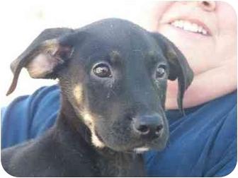 Shepherd (Unknown Type) Mix Puppy for adoption in Mesa, Arizona - Brother