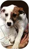 Jack Russell Terrier Mix Puppy for adoption in San Antonio, Texas - Sandy in Seguin