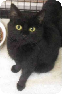 Domestic Shorthair Cat for adoption in Honesdale, Pennsylvania - Shadow