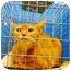 Photo 2 - Abyssinian Cat for adoption in New York, New York - Simba