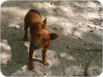 Terrier (Unknown Type, Medium) Mix Dog for adoption in Pointblank, Texas - Red