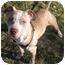 Photo 1 - American Staffordshire Terrier Mix Dog for adoption in Sacramento, California - Tanna will bring smiles!