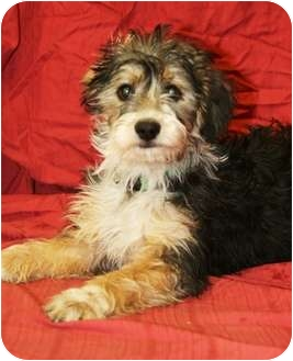 Terrier (Unknown Type, Small) Mix Puppy for adoption in Westminster, Colorado - ODAIR
