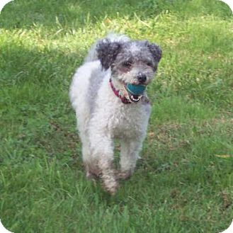 Poodle (Miniature)/Terrier (Unknown Type, Small) Mix Dog for adoption in McArthur, Ohio - ZOE
