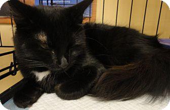 Domestic Longhair Cat for adoption in Columbus, Georgia - Skyler