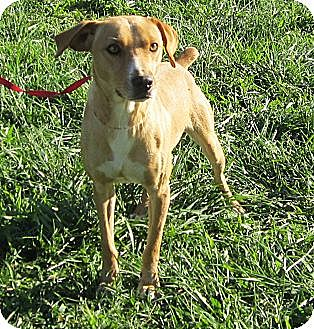 Mountain Cur Mix Dog for adoption in Harrodsburg, Kentucky - Roadie