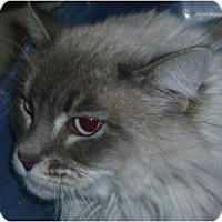 Adopt A Pet :: Cali - Chandler, AZ