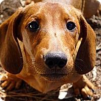 Adopt A Pet :: Griffin the Loving Puppy - Ocala, FL