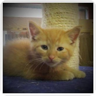 Domestic Shorthair Cat for adoption in Medford, Wisconsin - JOHNNY