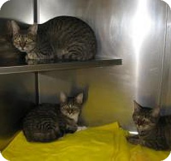American Shorthair Cat for adoption in Mineral, Virginia - Swizzle & Buddies