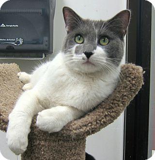 Domestic Shorthair Cat for adoption in Roseville, Minnesota - Hank