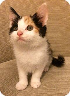 British Shorthair Kitten for adoption in Nashville, Tennessee - Gwyneth