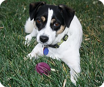 Beagle/Jack Russell Terrier Mix Dog for adoption in Temecula, California - Mikey
