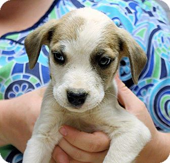 Labrador Retriever Mix Puppy for adoption in Conway, New Hampshire - Wiley