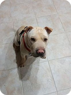 Shar Pei Mix Dog for adoption in Las Vegas, Nevada - Jordan