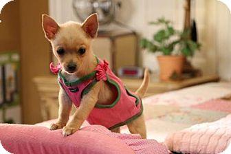 Pomeranian/Chihuahua Mix Puppy for adoption in Dallas, Texas - Abbie