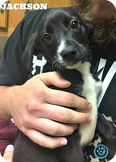 Labrador Retriever/Australian Cattle Dog Mix Puppy for adoption in Kimberton, Pennsylvania - Jackson
